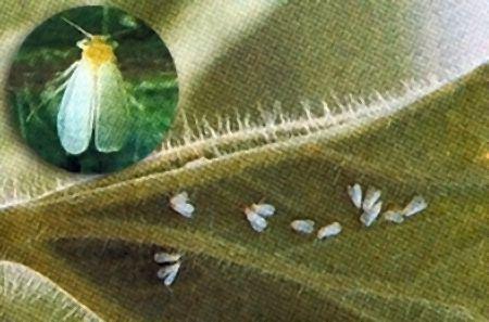 moucheron blanc