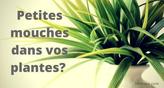 moucherons dans les plantes