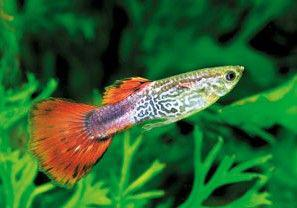 poisson aquarium guppy