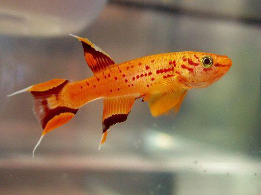poisson pour aquarium eau douce